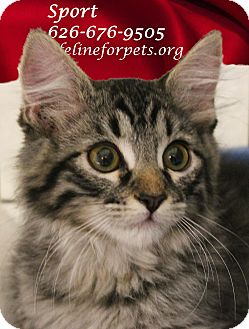 Domestic Mediumhair Kitten for adoption in Monrovia, California - A Kitten Boy: SPORT
