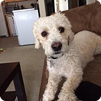Adopt A Pet :: Zsa Zsa (aka Sadie) - Princeton, MN