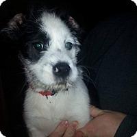Adopt A Pet :: Joey - Trenton, NJ