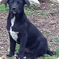 Labrador Retriever Mix Puppy for adoption in Louisville, Kentucky - Fallon