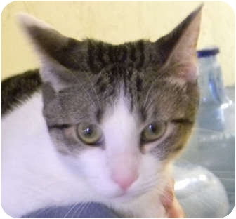 Domestic Shorthair Cat for adoption in Naples, Florida - Nibbler