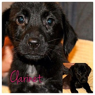 Dachshund/Beagle Mix Puppy for adoption in Garden City, Michigan - Clarinet