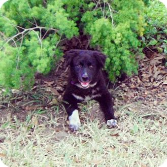 Border Collie Mix Dog for adoption in Houston, Texas - Gypsy