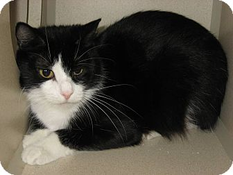 Domestic Shorthair Cat for adoption in Ridgway, Colorado - Ali