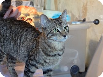 Domestic Shorthair Kitten for adoption in Brooklyn, New York - Salem
