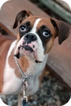 Boxer Dog for adoption in Tinton Falls, New Jersey - Shasta
