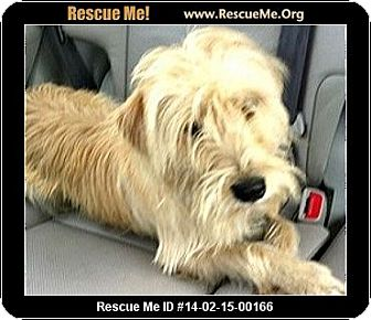 wheaten terrier rescue colorado caroline adoption pending adopted dog boulder co 245
