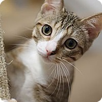 Domestic Shorthair Cat for adoption in Chicago, Illinois - Tootsie