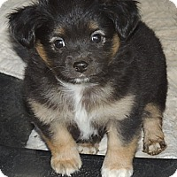 Adopt A Pet :: Ty - La Habra Heights, CA