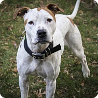 Adopt A Pet :: Zephyr - Des Peres, MO