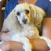Adopt A Pet :: Tiffany - Westport, CT