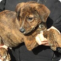 Adopt A Pet :: Calvin - Stamford, CT