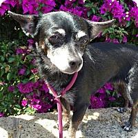 Adopt A Pet :: Darla - Costa Mesa, CA