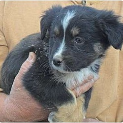 Photo 4 - Border Collie/Golden Retriever Mix Dog for adoption in Anton, Texas - Chester (two)
