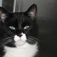 Domestic Shorthair Cat for adoption in Logan, Utah - Aurora