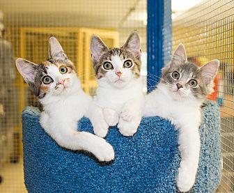 Domestic Shorthair Kitten for adoption in Seville, Ohio - Kittens at Petco Strongsville