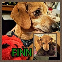 Dachshund Mix Dog for adoption in Scottsdale, Arizona - Finn