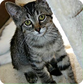 Domestic Shorthair Cat for adoption in Richland Hills, Texas - Kroger