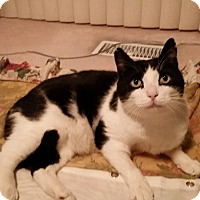 Adopt A Pet :: Scarface - THORNHILL, ON