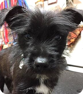 Terrier (Unknown Type, Small) Mix Puppy for adoption in Tijeras, New Mexico - Marty