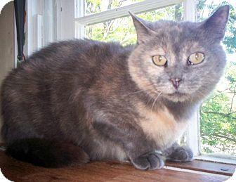 Domestic Shorthair Cat for adoption in Berkeley Hts, New Jersey - Ursala (Urgent Plea)