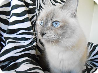 Siamese Cat for adoption in Phoenix, Arizona - Lavender