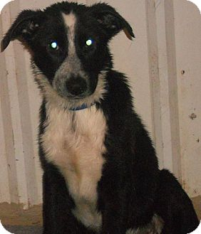 Border Collie/Labrador Retriever Mix Puppy for adoption in Aloha, Oregon - Border Collie/Lab Mix