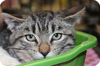 Domestic Shorthair Kitten for adoption in Santa Monica, California - Liam
