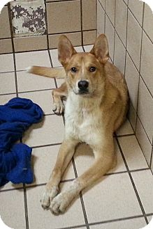 Cattle Dog Mix Dog for adoption in san antonio, Texas - Cappy