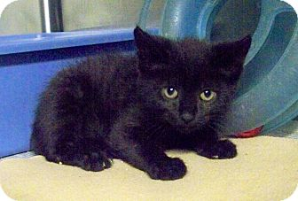 Domestic Shorthair Kitten for adoption in Dover, Ohio - felix