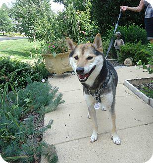Shiba Inu Dog for adoption in Manassas, Virginia - Hiro