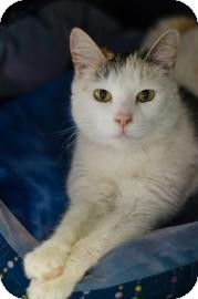 Domestic Shorthair Cat for adoption in Peace Dale, Rhode Island - Carissa