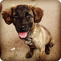 Adopt A Pet :: Shenzie - Torrance, CA