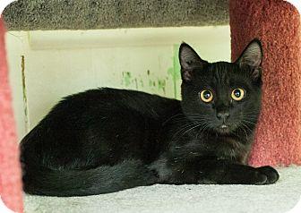 tortishell kittens for sale
