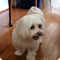 Maltese Dog for adoption in Virginia Beach, Virginia - Pearl