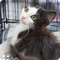 Adopt A Pet :: Taffy - Merrifield, VA