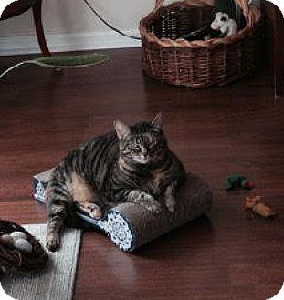 Domestic Shorthair Cat for adoption in Newtown Square, Pennsylvania - Zelda