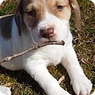 Adopt A Pet :: Babes Daphne