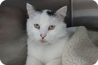 Domestic Shorthair Cat for adoption in Elyria, Ohio - Big Boy
