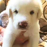 Adopt A Pet :: Pascal - Kyle, TX