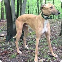 Adopt A Pet :: WW Pikes Peak - Gerrardstown, WV