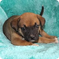 Adopt A Pet :: Cricket - Chester Springs, PA