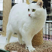 Domestic Shorthair Cat for adoption in Sunderland, Ontario - Cayton