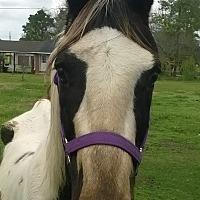 Adopt A Pet :: Shane - Hitchcock, TX