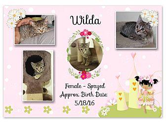 Domestic Shorthair Kitten for adoption in Evans, West Virginia - WILDA