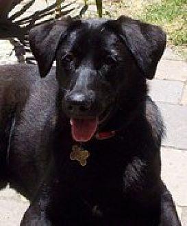 Labrador Retriever/Shepherd (Unknown Type) Mix Dog for adoption in Pt. Richmond, California - JOEY