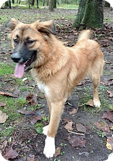 Golden Retriever/Shepherd (Unknown Type) Mix Dog for adoption in Capon Bridge, West Virginia - Marsha