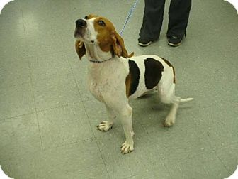 Coonhound Dog for adoption in Denver, Colorado - Cleo