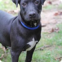 Labrador Retriever Mix Puppy for adoption in Glastonbury, Connecticut - Boyd Crowder~ adopted!
