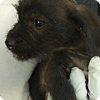 Adopt A Pet :: Coco's Confetti - Las Vegas, NV